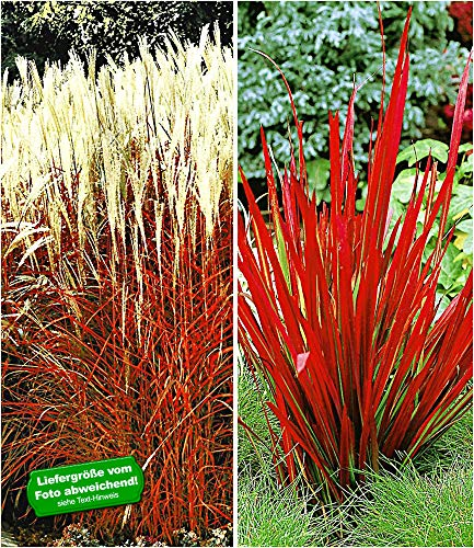 BALDUR Garten Rote Gräser-Kollektion, 4 Pflanzen Ziergras Indian Summer Chinaschilf und Ziergras Red Baron Imperata cylindrica