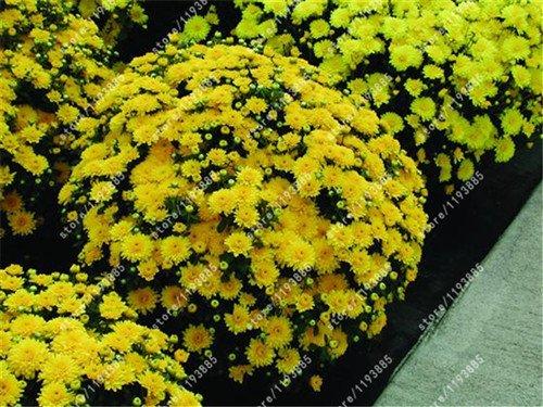 100pcs/sac de graines de chrysanthèmes couvre-sol, plantes graines de fleurs vivaces bonsaïs chrysanthèmes marguerite en pot pour le mélange de jardin à domicile