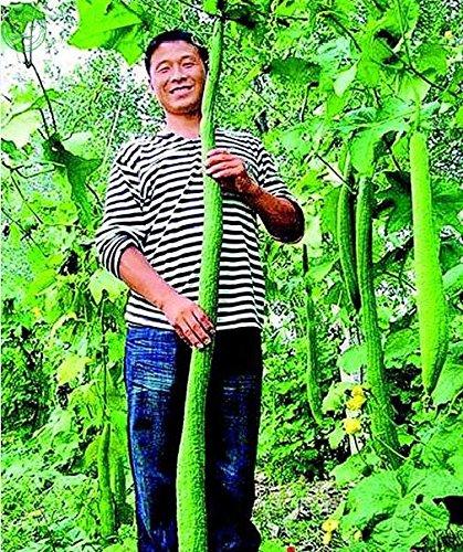 Vente chaude Rare 1 paquet long Luffa Graines Graines de légumes verts bricolage jardin maison livraison gratuite 30 graines F35