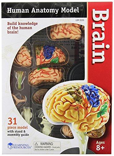 Learning Resources LER3335 Anatomiemodell des menschlichen Gehirns