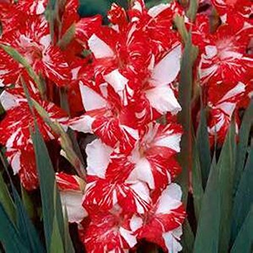 100 Samen/pack Verschiedene Stauden Gladiolen Blumensamen, Rare Schwertlilie Samen sehr beautoful für zu Hause Garten Bepflanzung A2