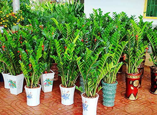 BAD Inc 300 Graines Zamioculcas zamiifolia Graines Money Tree plantes Semences (300) Graines