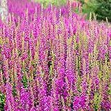 Outsidepride Salvia Pink Sunday - 1000 Seeds