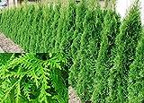 Thuja Plicata Gelderland Western Red Cedar 2ft Pack of 10 Supplied in 2/3 Litre Pots