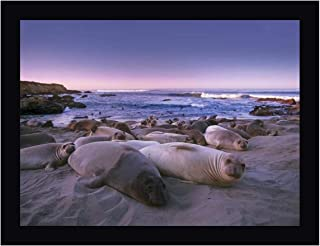 Northern Elephant Seal Juveniles Laying on The Beach, Point Piedras Blancas, Big Sur, California by Tim Fitzharris 16