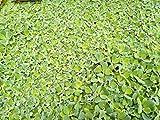 *Muschelblume Pistia stratiotes 10 Stc. 6-10cm Schwimmpflanze Aquarium Teich Wassersalat