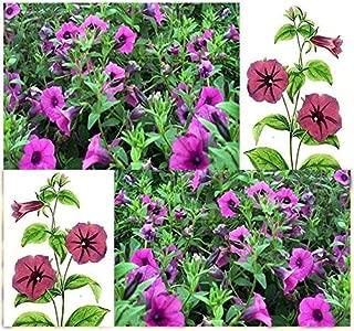 100 Petunia Seeds Perennial Heirloom Wild Petunia Wildflower Seeds Container