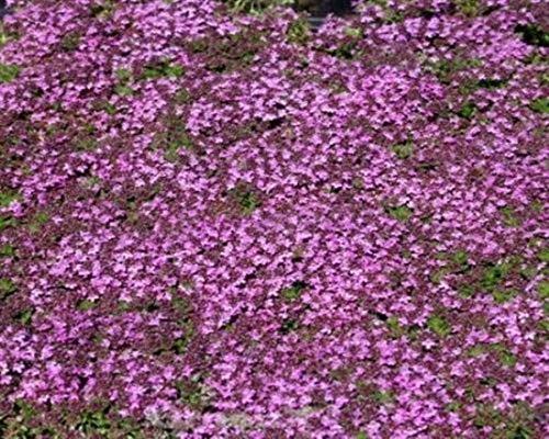 Purpurteppich Thymus 12 Stück praecox Thymian winterharter Bodendecker T9x9