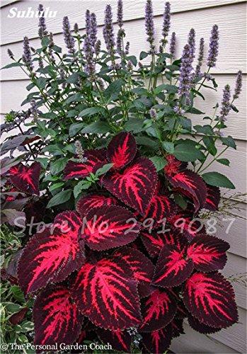 Janpanse Bonsai coleus Graines 50 Pcs Plantes feuillage couleur parfait arc Graines Belle Mixed Flower Garden plante Sement 17
