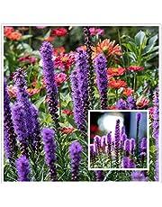 Dense Blazing Star Liatris Spicata Pink - 1000 semi - Naturegreen Park - Decorazione floreale vegetale