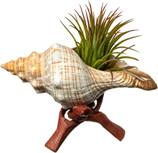 Tillandsia Air Plant with Fox Shell and Stand | Gift Set | 2-3