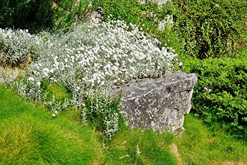 Silber-Hornkraut 250 Samen (Cerastium Tomentosum) Bodendecker-Hornkraut, Filziges Hornkraut