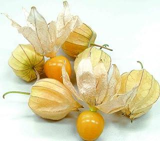 「ほおずきトマト(ゴールデンベリー)一度食べると独特の食味でリピーター続出!!」【9cmポット苗/3個セット】食用のホオズキで、青果物ではゴールデンベリーなどの名称で販売されています。普通のトマト程度に背が高くなる、多収穫タイプ!!果実は直径2cm前後、果重は10g前後。糖度は12~15 度、完熟青果はまるでマンゴーのような独特の甘い香り。果実の着果性にすぐれ、節成り品種で多収性。ホオズキのまま落果しても拾って食べれます。ジャムやお菓子にも最適!! 自社農場から新鮮直送!!(地域により遅霜にご注意ください)【即出荷/プライム送料込み価格】