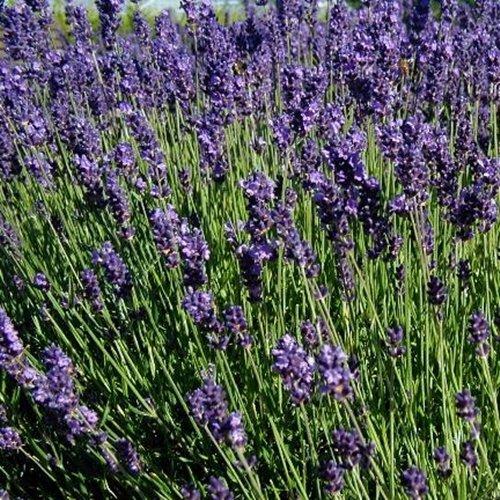 700 Samen Echter Lavendel