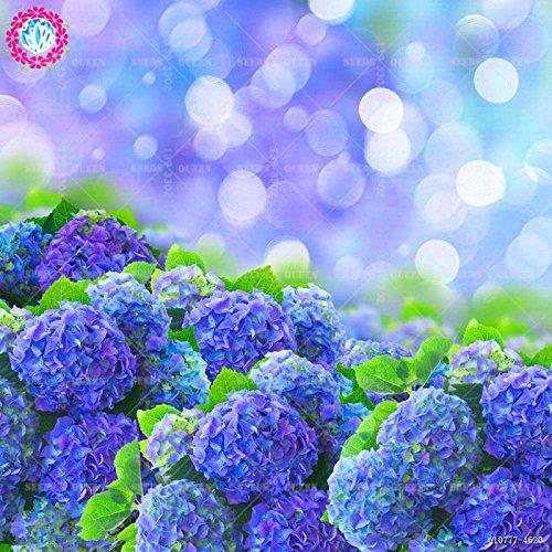 11.11 Big Promotion! 20 pcs/lot rares graines de Hydrangea colorées graine de bonsaïs fleur arbre chinois jardin et la maison plante herbe organique 1