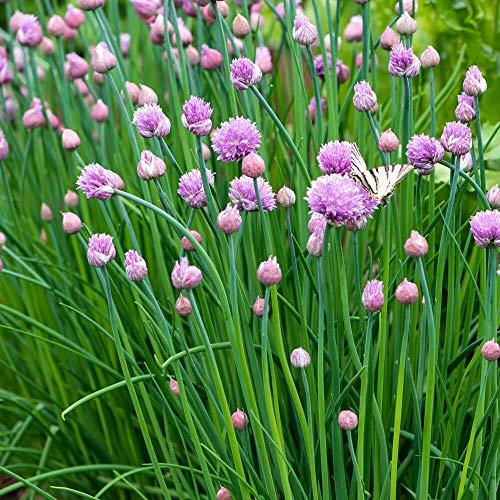 ca. 1800 Samen mittelröhriger Schnittlauch - Allium schoenoprasum, ganzjähriger Anbau