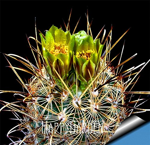 Big Promotion! Graines Succulentes Echinopsis tubiflora, graines de cactus, fleur de cactus rare, environ 10 Pcs / Bag, # 2083MI