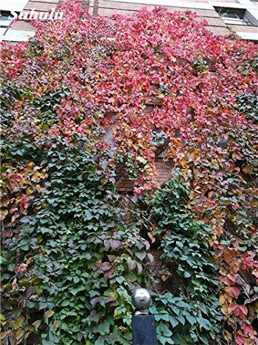 Mix Boston Seeds 100% vrai Parthenocissus tricuspidata semences Plantes d'extérieur QUASIMENT soins décoratifs Escalade usine 100 Pcs 10