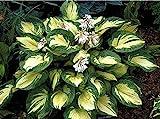 1 x Hosta sieboldiana 'Great Expectation' 1 Liter (Funkie, Herzblatt-Lilie) ab 4,99 € pro Stück