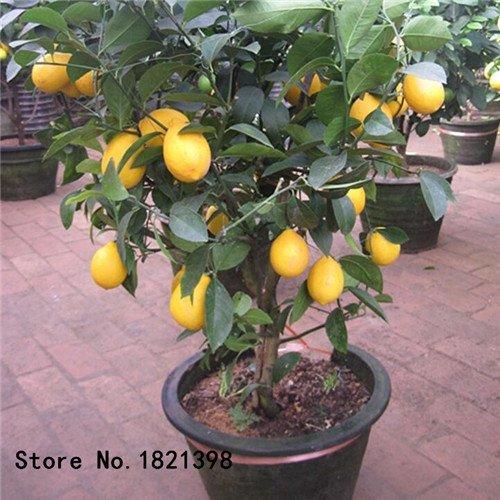 50 pcs/sac graines de citronnier avec emballage hermétique * graines de fruits * Heirloom disponibles en plein air à l'intérieur des graines de citron Livraison gratuite 2