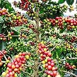 20 Coffea Arabica Seeds (Coffea Arabica Nana) Grow Your Own Coffee tree !