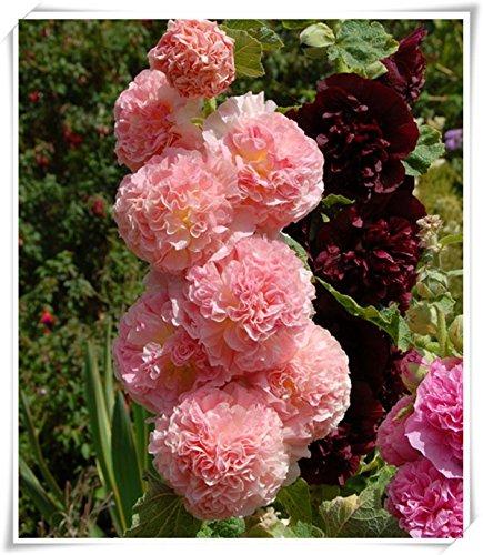 fleurs doubles trémière Graines-Alcea rosea rose, rose, rouge, jaune graines de fleurs vivaces bonsaïs pour 50seeds de plantes de jardin Accueil / sac 108