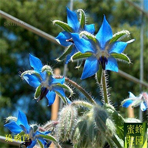 Vente chaude Promotion d'été Plantes Blooming régulières Balcon bourrache Exclus Graines Fleurs Mangez des légumes Soufre de 100