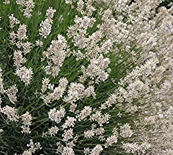 Buy White Provence Lavender
