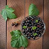 Ribes nigrum 'Titania'   2er Set Schwarze Johannisbeere   Obst Pflanzen   Winterharte Sträucher   Garten und Balkon Pflanze   Höhe 30-60cm   Topf-Ø 12cm