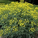 Outsidepride Rue Herb Plant Flower Seeds - 1000 Seeds