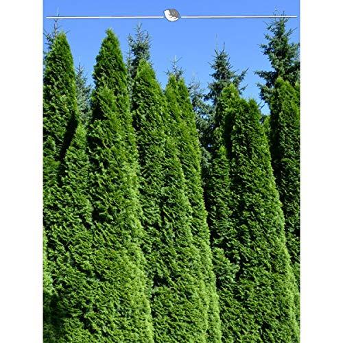 Lebensbaum Thuja Smaragd 140-160 cm. 10 Lebensbäume. Heckenpflanze Thuja occidentalis Smaragd. Winterhart und Pflegeleicht. Immergrüne Konifere. Blickdichte Lebensbaum-Hecke | Inkl. Lieferung