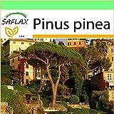 SAFLAX - Jardin dans la boîte - Pin parasol - 6 graines - Pinus pinea