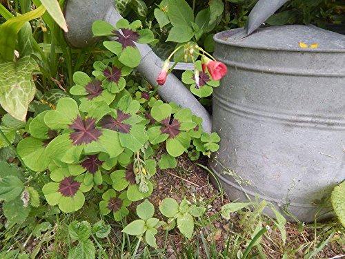100 / sac Day Four Leaf Clover Grow Your Own Pour Graines Chance herbe pour Jardin Regarder New forme Hear Semences à gazon Flower Pot Planters