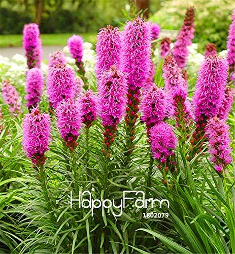 Green Seeds Co. 100 Piezas/Paquete Liatris spicata Plantas Raras Flamingo cresta de gallo Bonsai Planta, jardín ornamental flor Plantas: Amazon.es: Jardín