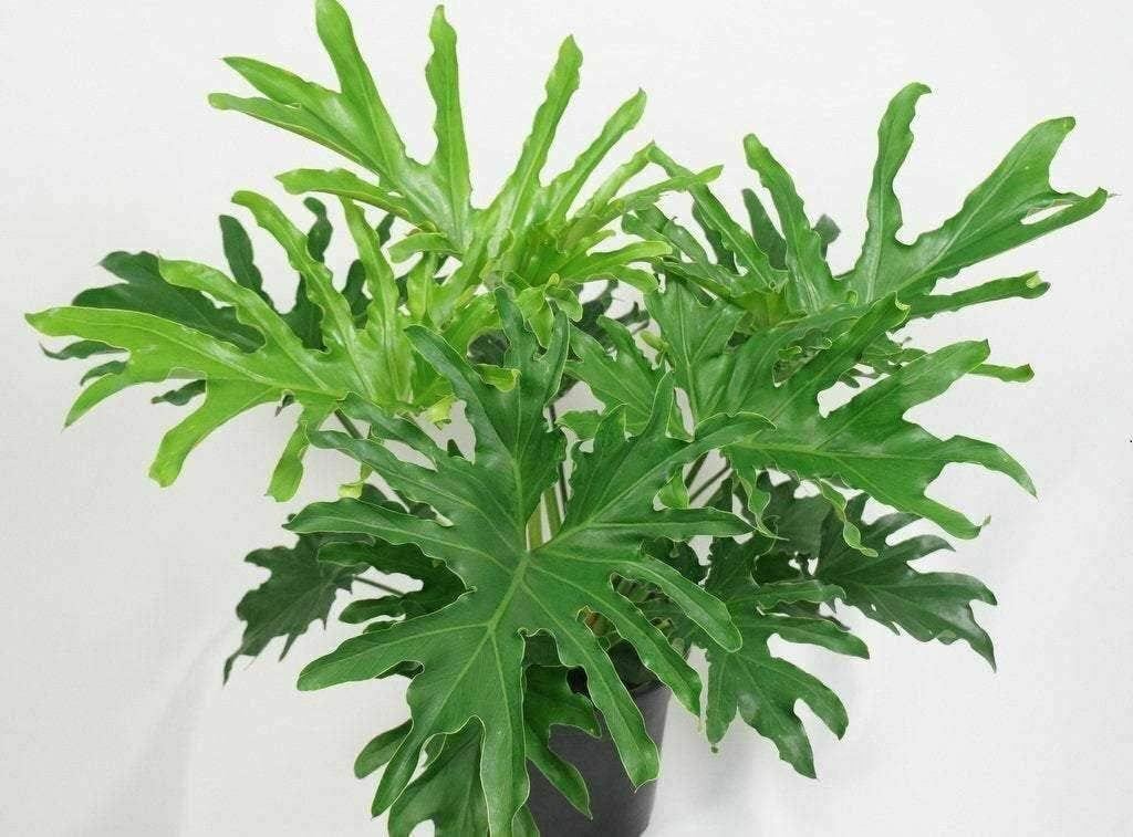 SmartMe Philodendron 'Lickety Split' 1 Dallas Mall F - Hybrid Surprise price