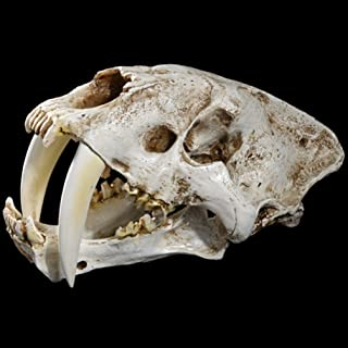 CAMLEO Animal Cat Tiger Skull Statue American Ancient Saber Tooth Smilodon Fatalis Specimen Animal Skeleton Model for Laboratory Home Art Decor Collectible