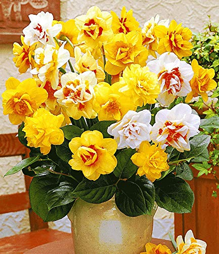 BALDUR-Garten Gefüllte Narzissen, Osterglocken Prachtmix, 50 Zwiebeln Narcissus