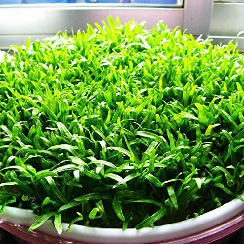 Balkon Gemüsesamen Convolvulus Sprossen-Haushaltssprossen Samen 500g