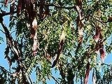 Lederhülsenbaum Gleditsia triacanthos Pflanze 45-50cm Gleditschie Honigdorn