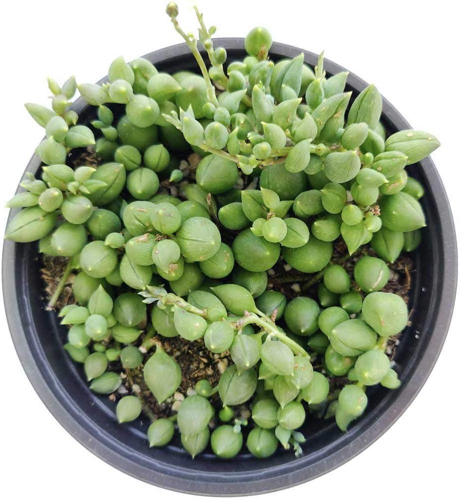 4 inch Live Succulent Gift Ideas Best Succulents for Hanging Baskets String of Tears Senecio Herreianus Succulent