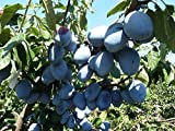 ALBERO DI SUSINO-PRUNUS DOMESTICA SIMILE - 'GROSSO DI FELISIO'- pianta vera da frutto da esterno Ø 19 cm - h 150 cm