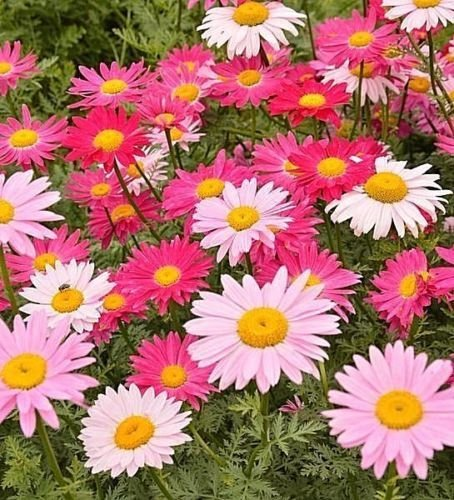 200 + CHRYSANTHEMUN GRAINES MIX robinson Plusieurs Painted Daisy Shades of ROSE