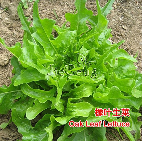 Oakleaf Laitue Seed * Vert Lactuca sativa * Saison non-OGM Heirloom * * Seed salade de légumes