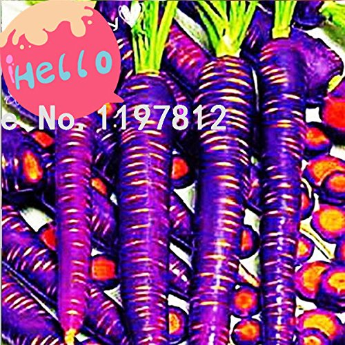200 pc/sac de semences de carottes Violet du dragon – strictement Unique . Graines de semences de légume carotte fruits de poids