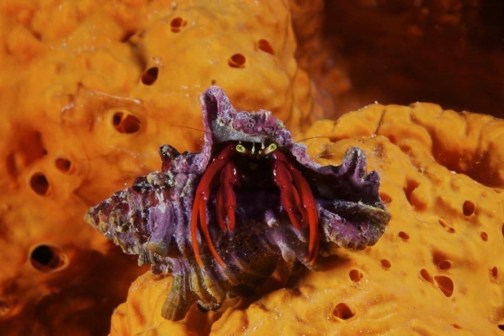 Posterazzi Hermit Crab Surprise price on a large elephant ear Special price Ca sponge Bonaire