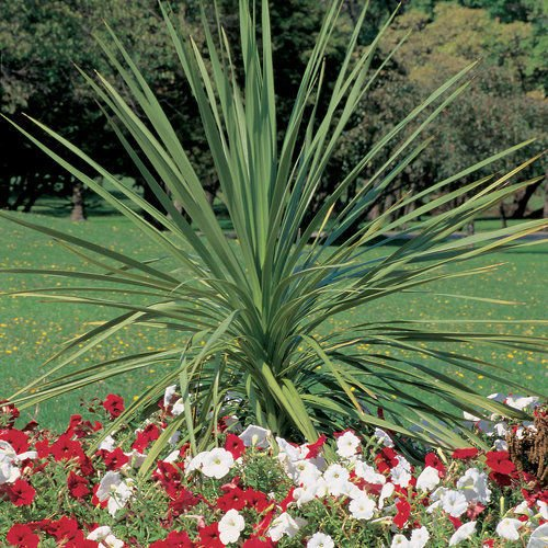 500 Dracaena Spikes Annual Seeds,Containers,Foliage , Ornamental