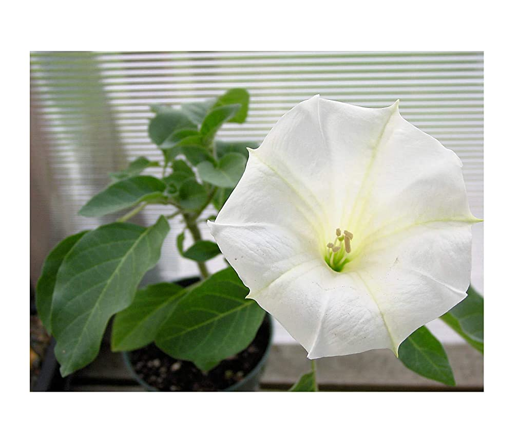 Angels Trumpet Tropical 10 Seeds Datura inoxia Annual Ornamental Perennial Flower Sweet Aromatic White Trumpet Blossoms Ornamental Old Time Favorite