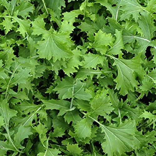 Rübstiel - Stielmus - Namenia - Brassica rapa ssp. Silvestris - 500 Samen