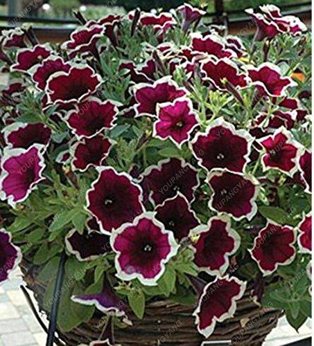 200 Pcs Petunia Graines Scarce Rare Bleu Phantom Petunia Pot de fleurs ornementales Graines de fleurs Pack de jardin Plantes Bonsai Bourgogne