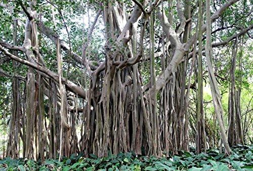 Ficus Benghalensis Arbre 100+ Graines, Banyan, Bengale Figue, Indien de l'Inde Fig Bonsai